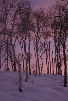 Aspen trees at dawn