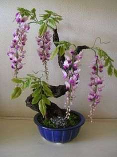 flowering purple wisteria bonsai