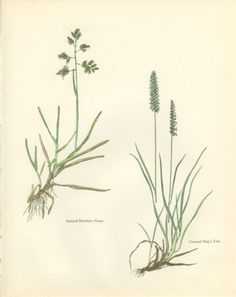 Annual Meadow Grass Crested Dog's Tail by MarcadeVintagePrints, €10.20
