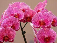 Festival das Orquídeas de Taiwan
