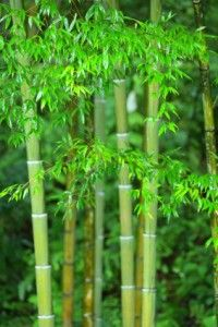 Bamboo...is it for the home garden? It says I do not have access to the PDF discussing this subject. -CAB