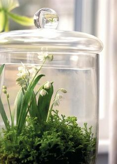 Maje a terrarium from a lidded glass container. When surrounded by glass, plants almost go on autopilot. They get the humidity they crave in even the driest of rooms. Any plant will shine, such as Scilla siberica 'Alba' in a bed of moss. Terrarium Plants, Glass Terrarium, Ikebana, Deco Floral, Lily Of The Valley, Dream Garden, Houseplants, Container Gardening, Indoor Gardening