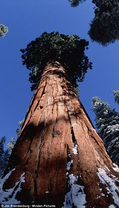 Immense: The tallest sequoias are so large that it is impossible to look at them in one go