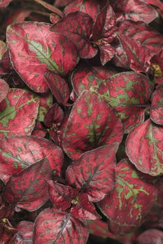 Proven Winners - Hippo® Red - Polka Dot Plant - Hypoestes phyllostachya plant details, information and resources.