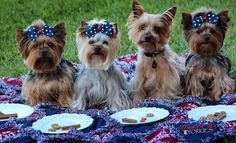 Cute 4th of july Yorkie, Yorkshire Terrier, Dog