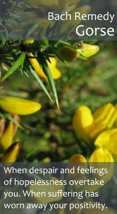 Bach Flower Remedy - Gorse - When you feel that hope is lost to you, Gorse brings sunshine to melt away the clouds.
