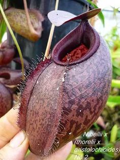 Ask Geoff Mansell   Carnivorous Plants in the tropics
