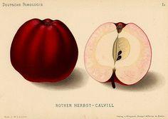 Roter Herbstkalvill, Tafel-, Doerr- und Wirtschaftsapfel, Ernte IX, lagerfaehig: X-XI, robust, guter Geschmack,