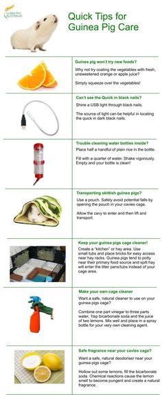 Quick Tips on Guinea Pig Care by Guinea Pigs Australia (http://guineapigsaustralia.com.au/)