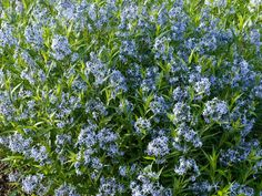 Amsonia Tabernaemontana, Blue Star, Willow Amsonia, Blue Dogbane, Willow Blue Star, Blue flowers