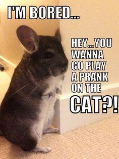 "Naughty Chinchilla; ""I'm Bored...Hey...You Wanna Go Play A Prank On The Cat?!"""