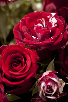 Roses rouge et striée - Bouquet Vénus Interflora France