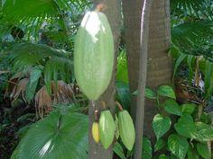 Las semillas del cacao (Theobroma cacao) fueron utilizadas como monedas por los mayas. El cacao conservó sus usos económicos durante un breve periodo del dominio español: el 17 de junio de 1555, por orden del virreinato de la Nueva España, el cacao pudo ser intercambiado con monedas europeas al equivaler un real español por 140 semillas de cacao, en 1575 bastaban 100 semillas de cacao por un real y al final de ese siglo eran 80 por un real.