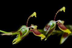 Sigmatostalix guatemalensis