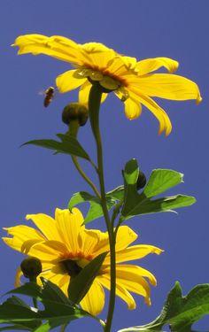 ♥ Sunflowers ♥