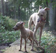 So cute, Italian greyhounds