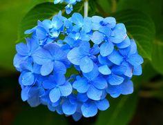 Información completa sobre las bellas Hortensias