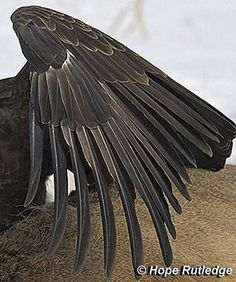 Bald Eagle Feathers - American Bald Eagle Information Bald Eagle Feather, Eagle Feathers, Bird Feathers, Three Birds Tattoo, Feather With Birds Tattoo, Eagle Wings, Bird Wings, Bird Feeder Hangers, Animales