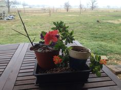 Mar 17, 2013 my azalea bonsai in training, its about 3 or 4 years old and sits in an Oklahoma NORTH window.  I keep a stupid african violet (decorated with a honey locust thorn and a fake flower) and a succulant on its soil for company.  I noticed it had a bloom today.  This plant gets watered once a week or less (if I forget) and seems to be happy.