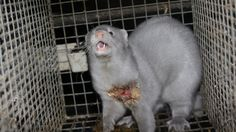 Petition · People for the Ethical Treatment of Animals (PETA): Why fur farms should be illegal · Change.org (4,600 signed August 6 2016 ) please help. #banfur #animalrights #govegan