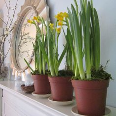 Bulbs for late winter/early spring