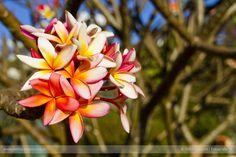 Hélio Campos | Fotografia: Ipês, Flores e outras Cores... ...de Brasília.