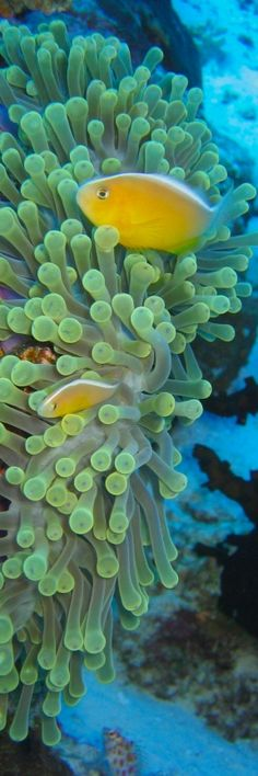 Sea Anemones and Fish