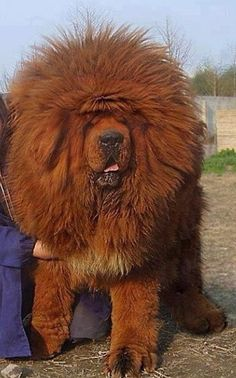 Top 10 Most Expensive Dog Breeds - Hunde - Dogs Huge Dogs, Giant Dogs, I Love Dogs, Giant Fluffy Dog, Cute Big Dogs, Very Big Dog, Really Big Dogs, Big Fluffy Dogs, Small Dogs