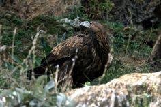 Pure sharpness - The Golden Eagle by Timur Bozca