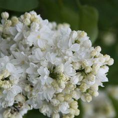 Flieder Syringa vulgaris 'Zashchitnikam Bresta' - Russische Raritäten - Flieder-Raritäten Fliedertraum