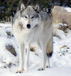 Northwestern wolf (Canis lupus occidentalis) in Yellowstone National Park. (via Wikipedia. Posted by Mariomassone)