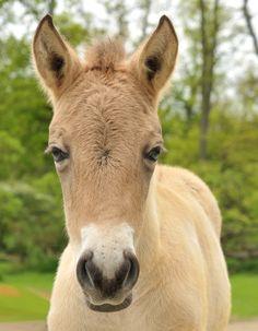 Le Przewalski, un cheval sauvage unique en son genre aux traits « primitifs Horse Head, Goats, Racing, Horses, Animals, Google Search, Most Beautiful Horses, Baby Horses, Pony