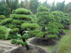 See our gallery of organic topiary from Jake Hobson, the renowned cloud pruning and topiary specialist. Garden Shrubs, Garden Trees, Garden Plants, Pine Garden, Topiary Garden, Gardening Vegetables, Garden Edging, Japanese Nature, Japanese Tree