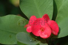 spurge plant: Christ thorn (Euphorbia milii) flower close-up with green leaves Stock Photo Euphorbia Flower, Euphorbia Milii, Flower Close Up, Plant Images, Green Leaves, Royalty Free Images, Christ, Stock Photos, Rose