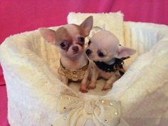 Effective Potty Training Chihuahua Consistency Is Key Ideas. Brilliant Potty Training Chihuahua Consistency Is Key Ideas. Teacup Chihuahua Puppies, Tiny Puppies, Chihuahua Love, Cute Puppies, Cute Dogs, Little Dogs, Beautiful Dogs, Cute Baby Animals, I Love Dogs