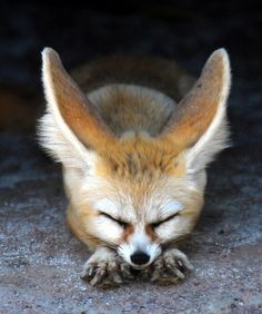 how I love fennec foxes