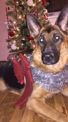 Christmas German Shepherd! Christmas Card ready!  #Christmas #Holidays #GermanShepherd