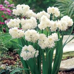Jonquils - Google Search
