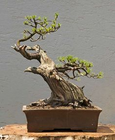 Bonsai Mugo pine Walter Pall