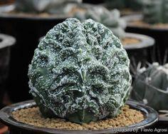 Astrophytum myriostigma cv. Hanakago Hakuun