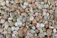 "Small Natural Pink Umbonium Seashell - .25'-.5""- (approx 150 pieces) Beach Wedding Crafting and Supplies Shells - Button Top - Vase filler"