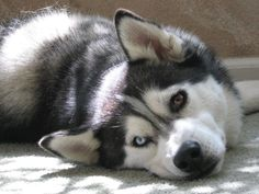 Siberian Husky Shania Close-Up