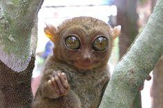 ボホール島にいる小さなお猿さん(ターシャ)。