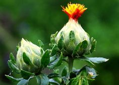 Safflower - a red natural dye plant