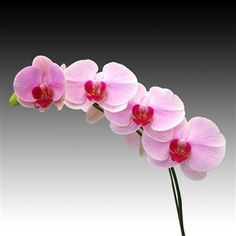 Orchid flowers - Phalaenopsis Champion Lightning. The Phaleanopsis species is regarded as the easiest to grow and is best suited for an indoor environment which attributes to its growing popularity.