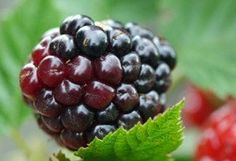 ORGANIC BLACKBERRY Seed Oil UNREFINED Cold Pressed Undiluted