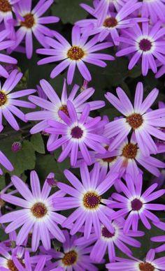 Purple flowers, Japan