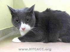TO BE DESTROYED 9/16/14 ** The person who found Hope says: she is a stray & is really friendly; I think was someone's pet. PLEASE FOSTER, ADOPT OR PLEDGE FOR HOPE NOW- SHE ONLY HAS UNTIL NOON ON 9/16 ** Manhattan Center  My name is HOPE. My Animal ID # is A1013874. I am a spayed female gray and white domestic sh mix. The shelter thinks I am about 4 YEARS old.  I came in the shelter as a STRAY on 09/12/2014 from NY 11101
