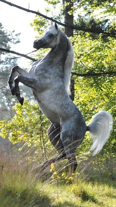 Gorgeous Dapple Grey horse rearing up at edge of woods.