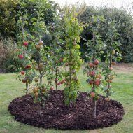 I love this Mini Orchard Collection! Great space saver. Ballerina Apple Trees.